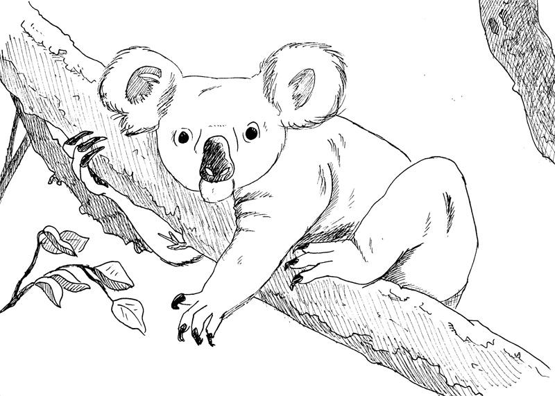 koala_01